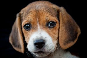 puppy-eyes_l